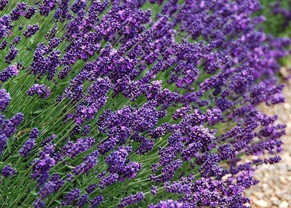 Full Grown Lavender