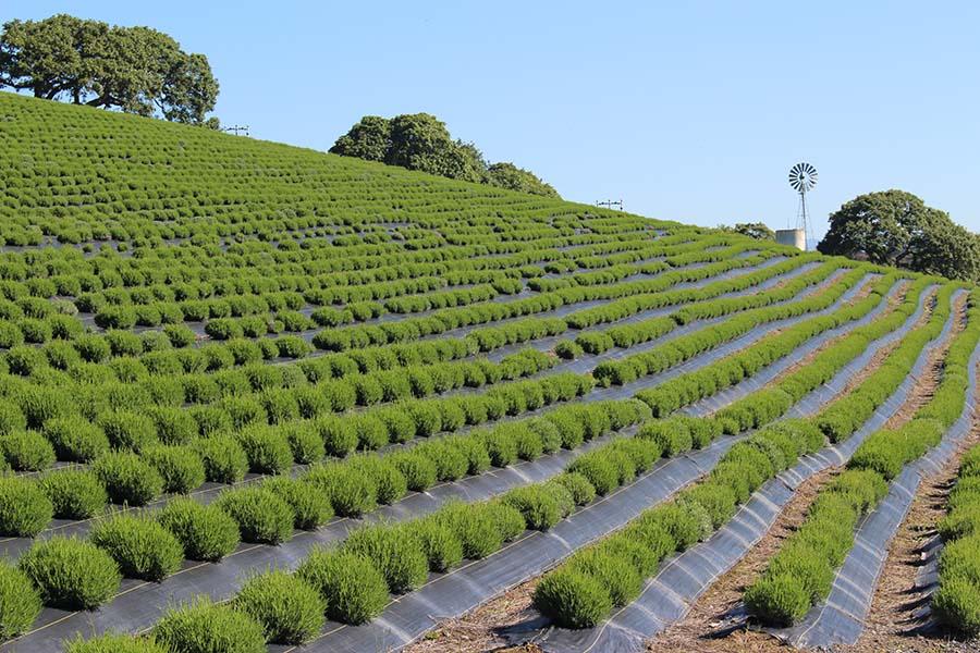 Lavender Field in April