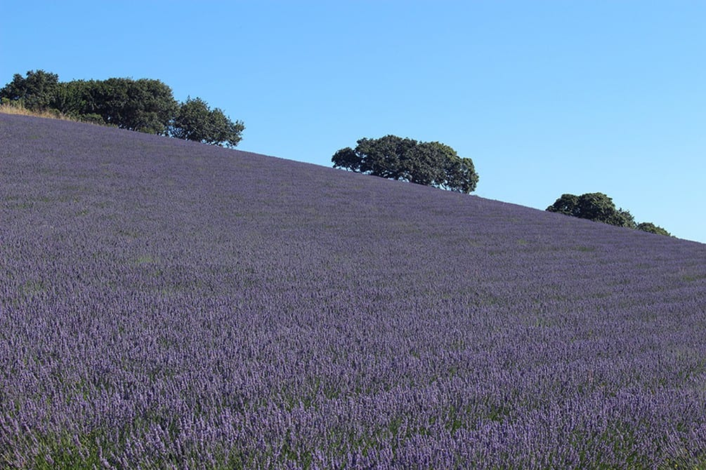 Monte-Bellaria di California lavender fields